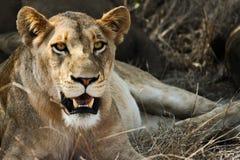 Distensione del Lioness Fotografia Stock