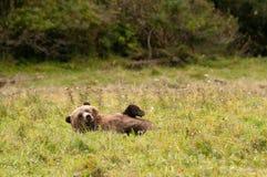 Distensione dell'orso dell'orso grigio Fotografia Stock Libera da Diritti
