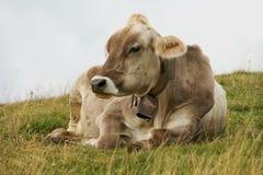 distensione della mucca Immagini Stock Libere da Diritti