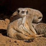 Distensione di Meerkats Fotografia Stock
