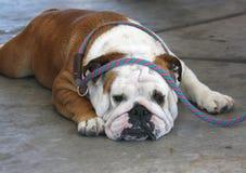 Distensione inglese del bulldog Fotografia Stock Libera da Diritti