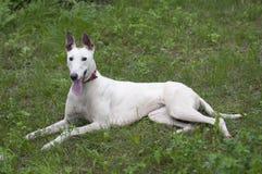 Distensione inglese del cane del levriero Fotografie Stock Libere da Diritti