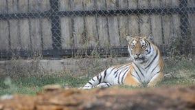 Distensione siberiana della tigre video d archivio