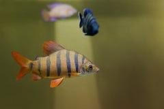 Distichodus lusosso fish. Longsnout distichodus Royalty Free Stock Image