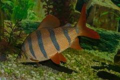 Distichodus Sexfasciatus flutua no aquário Imagens de Stock