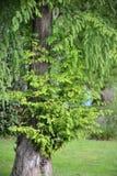 Distichum Λ Taxodium διπλός-σειρών Taksodium κυπαρισσιών έλους πλούσιος με τις νέες διαφυγές Στοκ φωτογραφία με δικαίωμα ελεύθερης χρήσης
