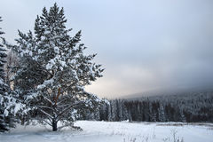 Distinct fir tree on a snowfield. At Urals, Russia Stock Image