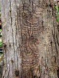 Distinctief patroon van een eeuwigdurende doelkanker op een rode boomstam van de esdoornboom stock foto's