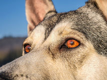 Distinctive eyes. Eyes of the northern inuit dog Royalty Free Stock Photography