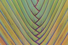 Distinctive fan shaped leaves of traveller's palm or Ravenala ma. Dagascariensis, commonly known as traveller's tree or traveller's palm, from Madagascar Royalty Free Stock Images