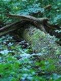 Distinctive Logs. Fallen on a tree covered in moss and ivy Royalty Free Stock Photography