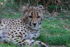Distinctive Markings on the Face of a Cheetah Stock Photography