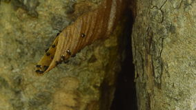 The distinctive wax tube a nest entrance of stingless bees. stock video footage