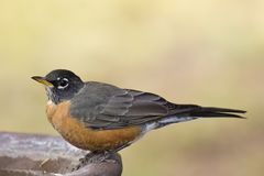 American robin on edge of bird bath stock photography