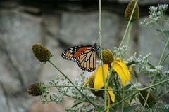 Monarch butterfly. The distinctive wings of the monarch butterfly royalty free stock photo