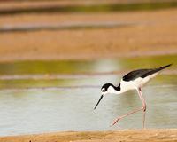 Black-necked stilt walking the shore of a pond royalty free stock photography
