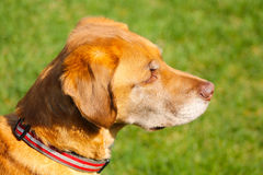 A Distinguished Dog Staring Intently. An older puppy starring at a distant rodent Stock Photography