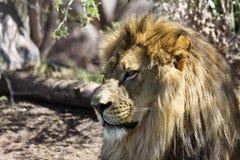 Distinguished lion portrait Stock Photos