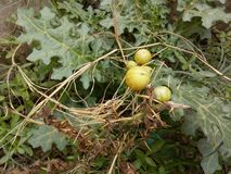 Solanum linnaeanum& x28;Afghan thistle, apple of Sodom, apple-of-Sodom, bitter apple, black-spined nightshade,. Distinguishing Features an upright or spreading stock images