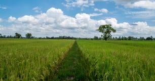 Distinkt skillnad Gångbana av jasminrisfält royaltyfri foto