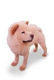 Distintivo-mirada de la raza del perro Fotos de archivo libres de regalías