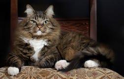 Distinto gato na cadeira fotografia de stock royalty free