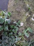 Distle gelé Photos libres de droits
