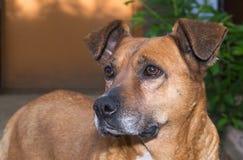 Distogliere lo sguardo del cane di Brown Fotografia Stock Libera da Diritti