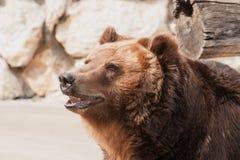 Distogliere lo sguardo dell'orso grigio Immagine Stock