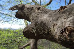 Distorted branch. Old distorted branch. Unusual tree in national park royalty free stock photography