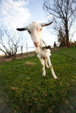 Distorted goat Royalty Free Stock Image