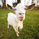 Distorted goat. Look and smile, closeup muzzle Stock Photo
