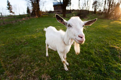 Distorted goat. Look and smile, closeup muzzle Royalty Free Stock Photos
