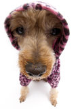 Distorted Leopard Print Pooch Royalty Free Stock Photos