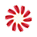 Distorted swirl of red tulips. On a white background Royalty Free Stock Images
