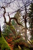 Distorted tree. Covered by moss in Giant Mountains in Czech Republic Stock Photo