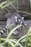 Distracted lemur Stock Photos