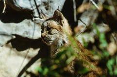 Distracted Lynx Kitten Stock Photography