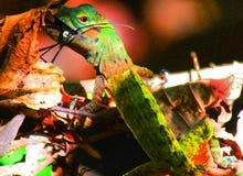 Distrayendo un lagarto desayune en una pista de senderismo en Costa Rica fotos de archivo