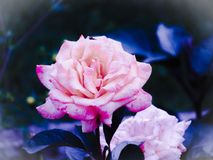 Distressed Beauty. This bright pink flower was found on a beautiful summer Royalty Free Stock Images