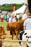 Distressed Livestock Royalty Free Stock Photo