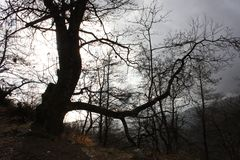 Distressing and fairy-tale dark tree trunks. gloomy and hostile environment, wild. inhospitable nature.  stock image