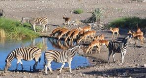 Distribución de un agujero de riego en Namibia África Imagen de archivo