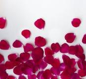 Distribution inégale de pétales de plus haut à plus petit du fond jusqu'au dessus tombant rouge volant de rose sur le fond blanc photographie stock libre de droits