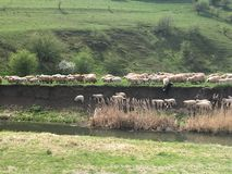 Sheep alongside the river is Romania