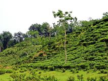 tea plantation in Srimangal, Bangladesh stock photos