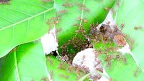 Distrugga un nido della formica stock footage