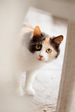 Distrustful domestic cat Stock Photography