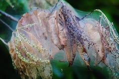 Distruzione del ramo di albero dal nido del verme di web Immagine Stock