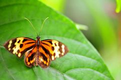 Disturbed Tigerwing butterfly Stock Photos
